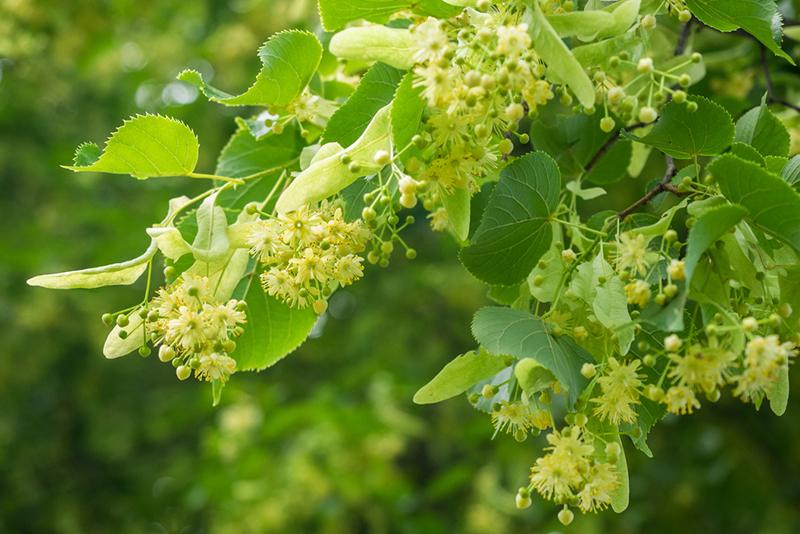 Blüten des Lindenbaumes befinden sich an einen herabhängenden Ast im Sonnenlicht